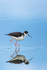 Black-necked stilt and reflection.