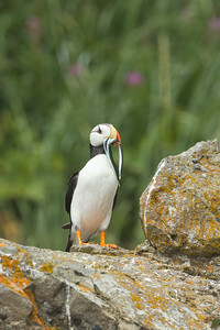 Puffin with Sand Lances
