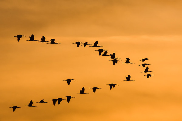 Ibis in flight at sunset, California.