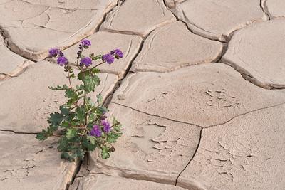 Phacelia blooming in dried mud.