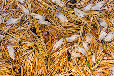 Pine Needles and Seeds, California.