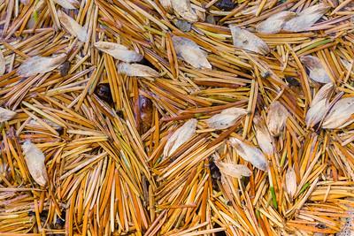 Pine Needles and Seeds, California.