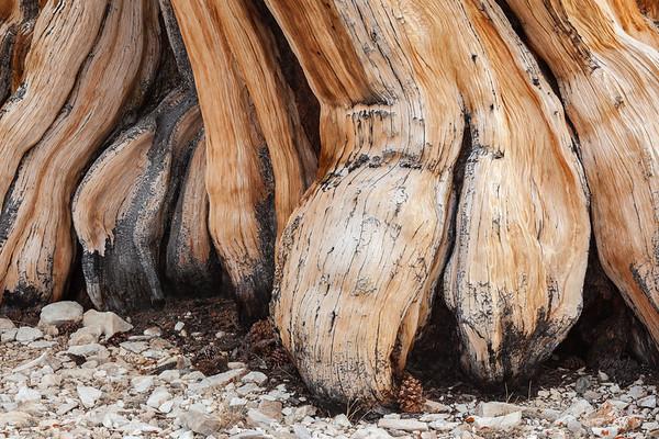 Buttressed Bristlecone Pine Tree