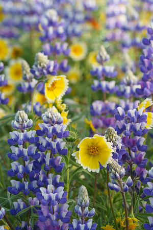 California Spring Wildflowers