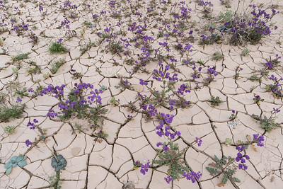 Phacelia in bloom, Death Valley.