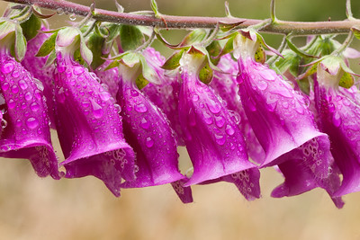 Deep Pink Foxglove with raindrops.