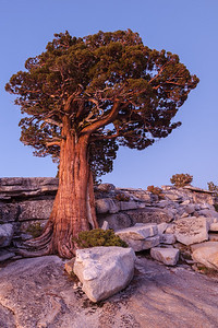 Majestic Juniper Tree, Yosemite.