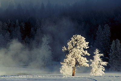 Hoar Frosted Trees, Yellowstone.