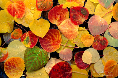 Aspen Leaves, Eastern Sierra, California.