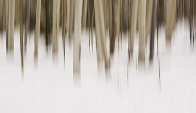 Winter in the Aspen Grove