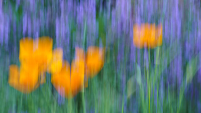 Poppies and Catmint