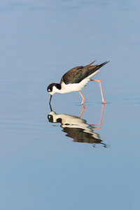 Black-Necked Stilt and Reflection