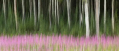 Fireweed and Birches