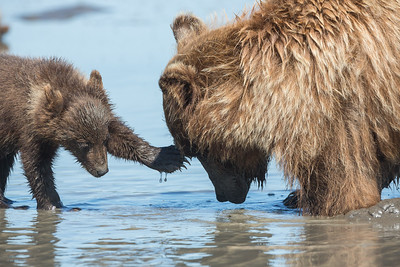 Grizzly Bear Cub and Mom