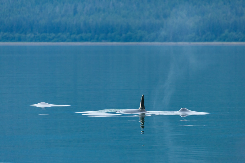 Family of Orcas swimming in quiet waters, Alaska.