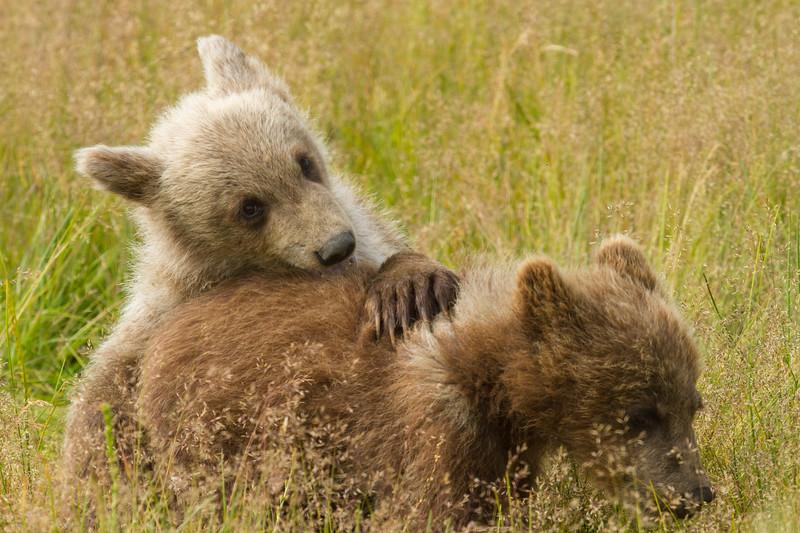 Playing Bear Cubs