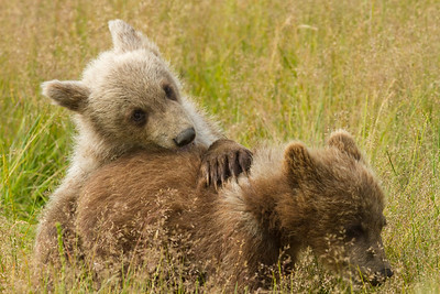 Playing Bear Cubs