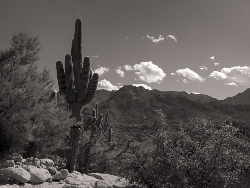 Saguaro, Catalina State Park