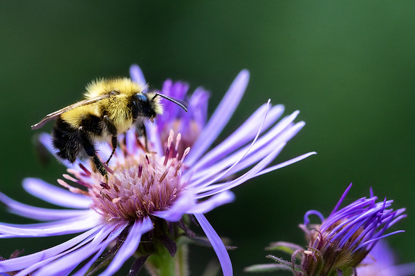 Bumble Bee - British Columbia, Canada