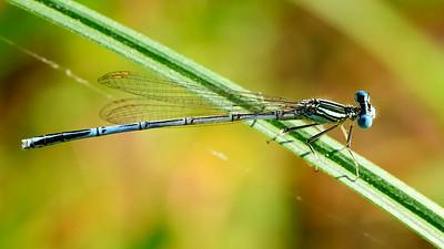 Dragonfly - Zabité - 2013-07-28