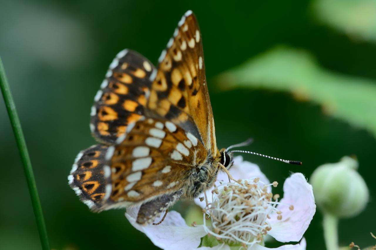 Butterfly - Zabité - 2013-07-28