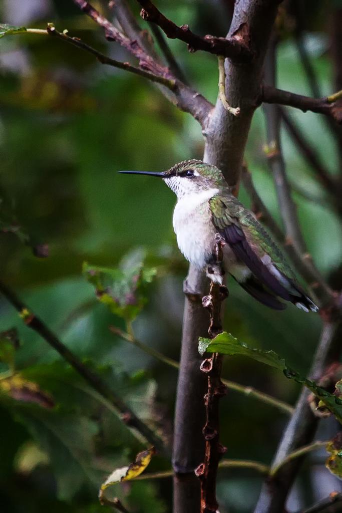 IMAGE: https://photos.smugmug.com/PRIVATE-GALLERIES/Portfolio/Critters/Birds/n-r7Sxs/i-2xJLCcc/0/O/i-2xJLCcc.jpg