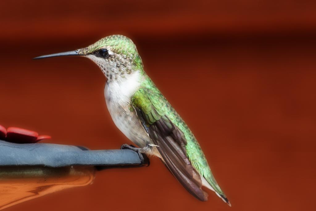 IMAGE: https://photos.smugmug.com/PRIVATE-GALLERIES/Portfolio/Critters/Birds/n-r7Sxs/i-Pc5PzCm/0/O/i-Pc5PzCm.jpg
