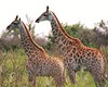 Am I seeing double? No. These are brother and sister baby Giraffes in Sabi Sabi in South Africa