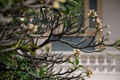 Plumeria at Queen Saovabha Memorial Institute