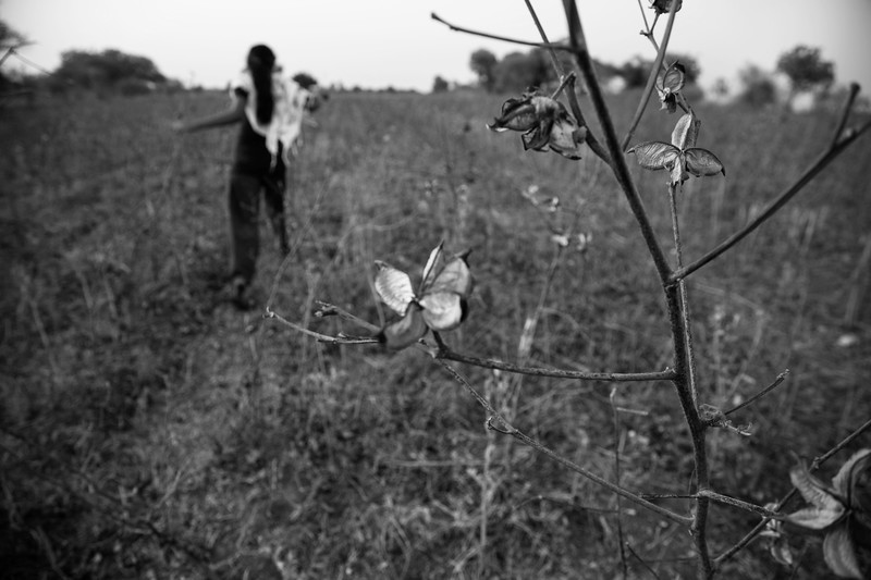 Once known for its cotton or 'white gold' production, Vidarbha now is notoriously known as the suicide belt of India.  The region has been going through severe drought for the last ten years leading to almost 8,000 farmer suicide cases. So when a crisis-hit farmer kills himself, these widows are pushed further into more debt and are forced to take jobs as laborers on other farms to sustain.