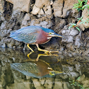 Little Tiger Heron