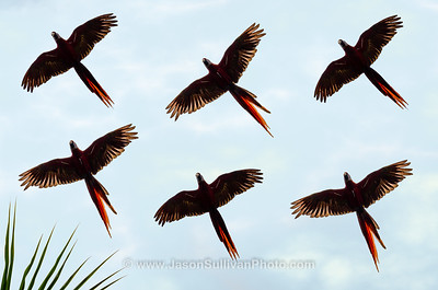View in photo store: Macaw Flight Path
