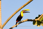 View in photo store: Tucan Call