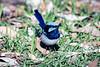 Fancy Blue Dancer
