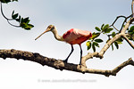 View in photo store: Roseate Spoonbill