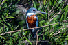 Perched Kingfisher
