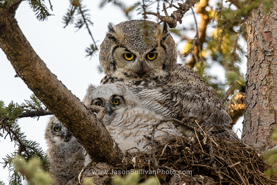 Owls on Alert