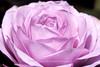Fine Pink Petals
