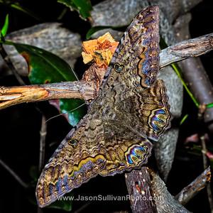 Rainbow Moth