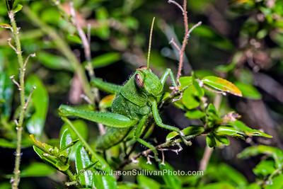 Green Jungle Hopper