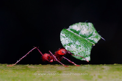 View in photo store: Leafcutter