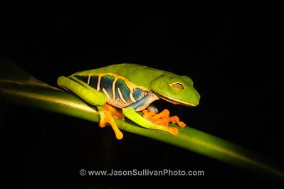 Dozing Tree Frog