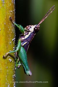 Little Jungle Jumper