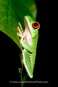 View in photo store: Red-eyed Leaf Frog