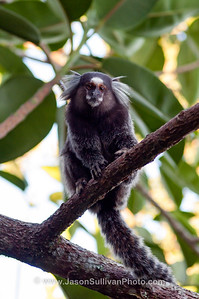 White Tufted Ear Marmoset