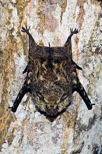 Flap Flap its a Bat