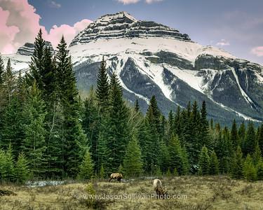 Valley Elk
