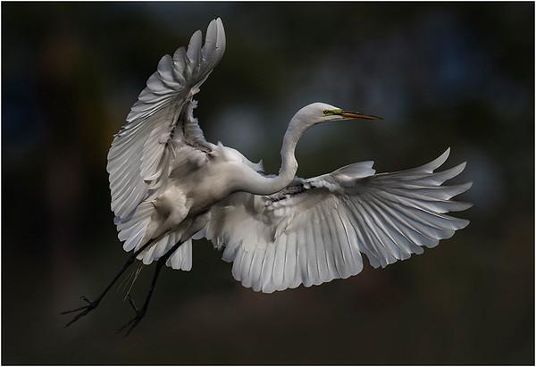 Landing Egret