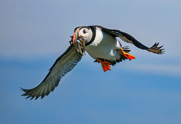 Atlantic Puffins - PSA Score 14 Award of Merit