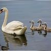 Mute Swan and her Cygnets...Morris Canal, Roxbury NJ